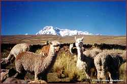 Alpacas and Mt. Ausangate